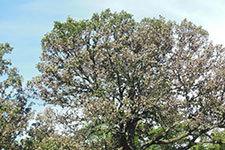 bur oak with BOB
