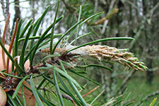 Jack pine stem with budworm