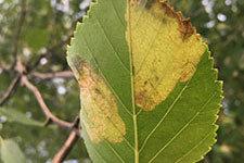 papter birch leaf with leaf miner damage