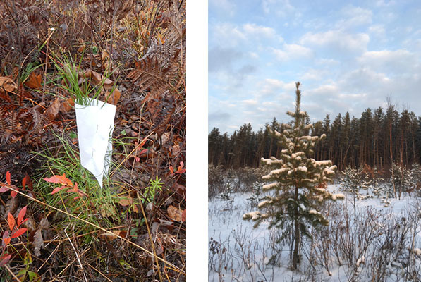 Left: small pine tree. Right: growing young pine tree.