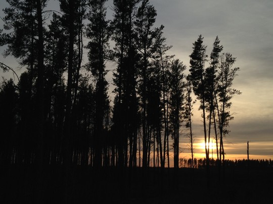 Pine trees against a sunset