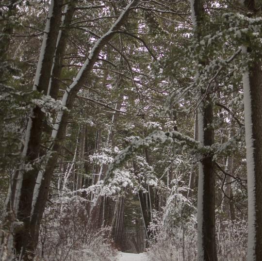 snowy trail through pines