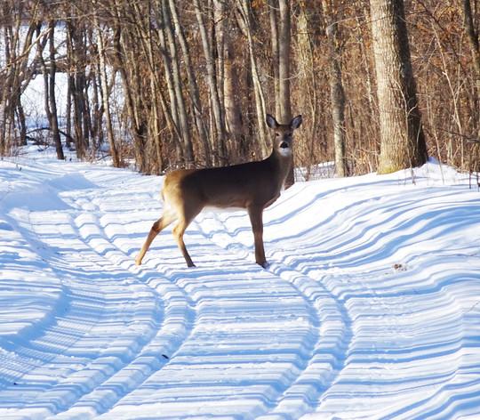 Deer on Wild River groomed trail