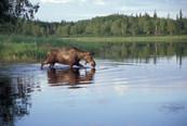 USFW Moose Lake