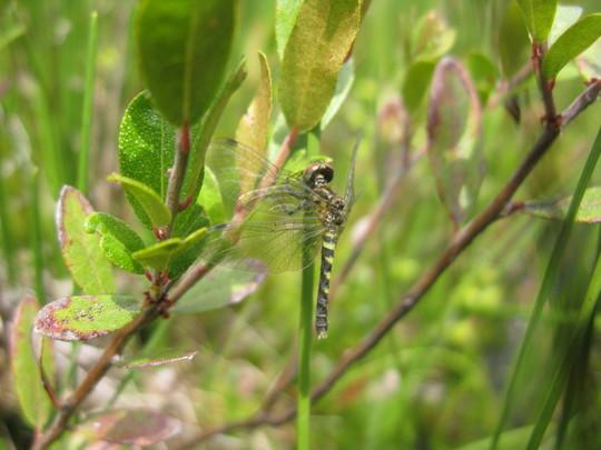 Elfin Skimmer Dragonfly