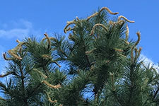 herbicide damage on pine tree