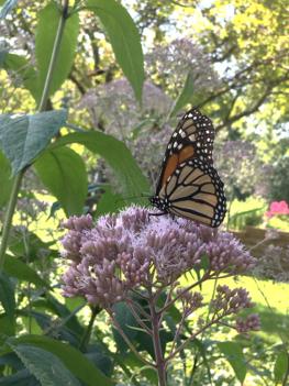 Monarch butterfly on Joe Pye Weed flower