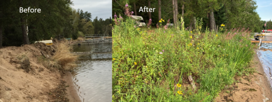Harwell Family shoreline before and after with native plants