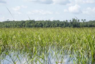 wild rice stands