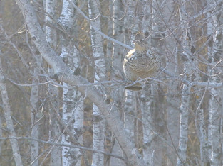ruffed grouse in tree