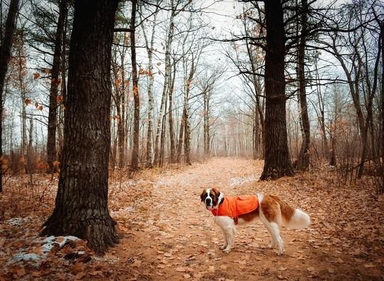 Dog in blaze orange vest