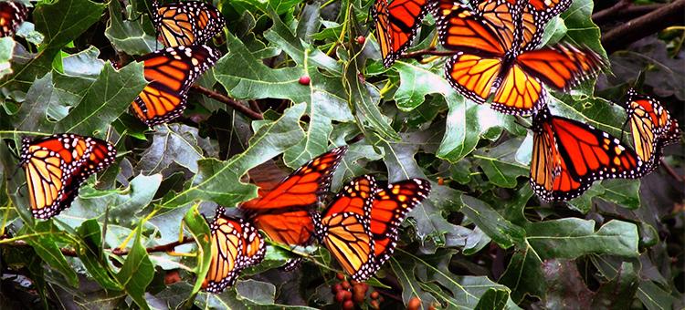 Monarch butterflies on dark green leaves