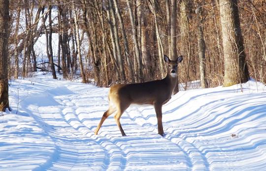 Deer crossing groomed ski trail