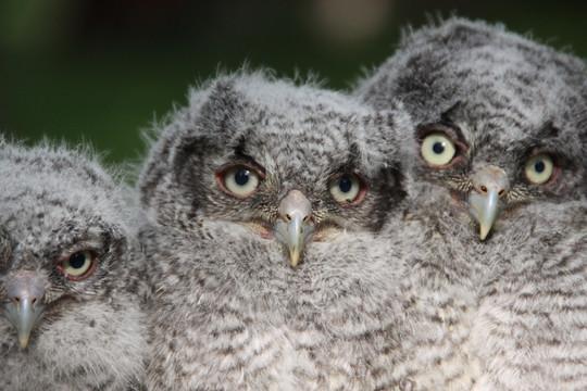 Three screech owl chicks