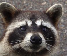 Raccoon close-up