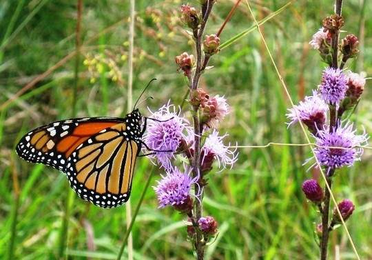 Monarch butterfly on blazing star flower