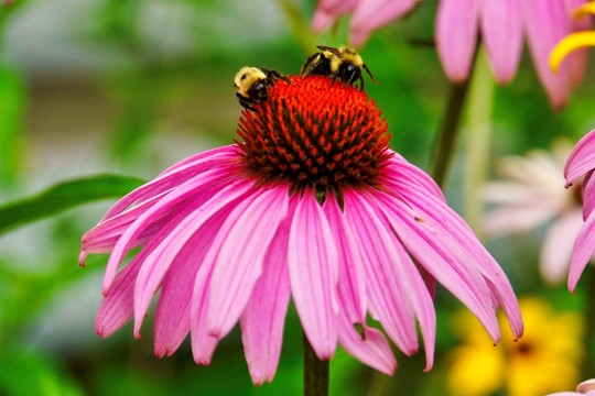 Purple coneflower with bees