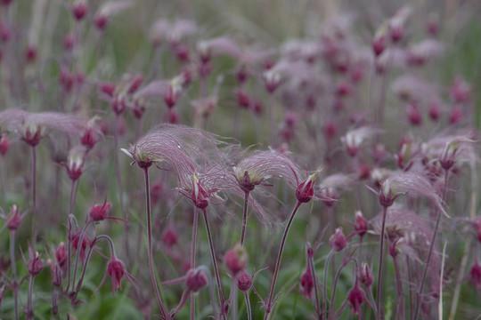 Close-up of prairie smoke flowers