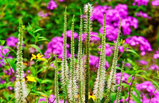 Culver's root flower with pink flowers in background