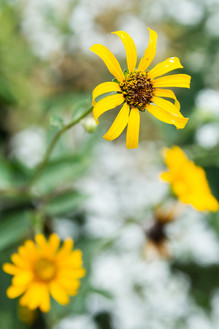 Yellow flower in focus with another yellow flower and greenery out of focus, Woodland Sunflower