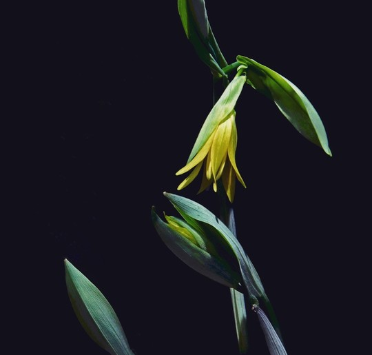 Yellow flower and large green leaves on black background, bellwort flower