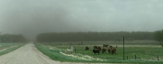 Cattle in foreground with excessive dust in air above fields due to dry conditions and wind