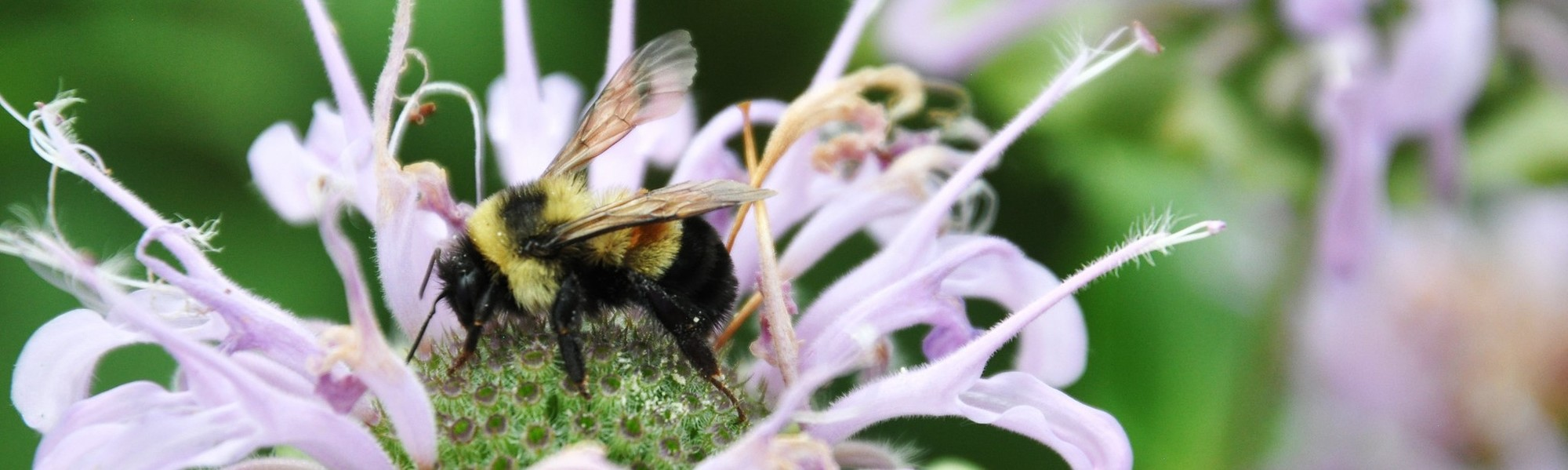 Rusty patched bumble bee on bee balm, by Jill Utrup/USFWS