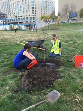 County staff and volunteers water a newly planted tree