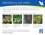 How to identify ash trees card