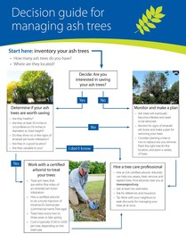 Decision guide for managing ash trees