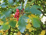 Oakleaf Mountain Ash berries and leaves