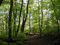 Maple Basswood forest
