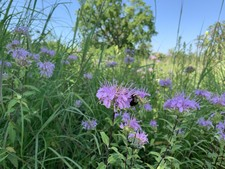 Wild bergamot and bee on Clark easement