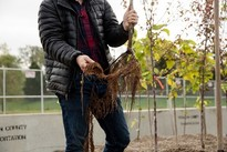 Healthy root structure of gravel-bed nursery tree