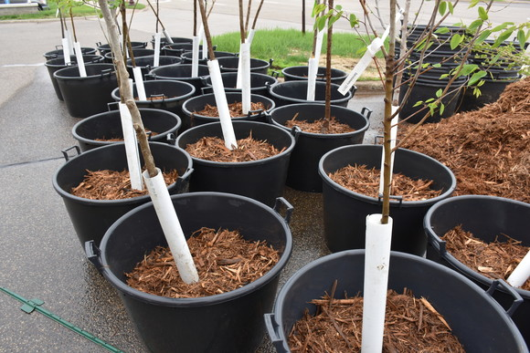 Trees in containers ready to be planted