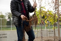 Forester showing fibrous roots from tree in gravel bed nursery