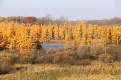 Tamaracks in a bog turned a smoky gold color