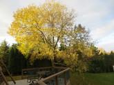 Mature tree next to a deck