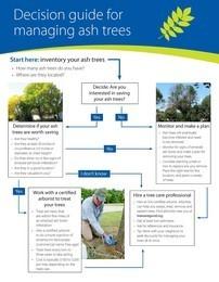 Ash tree decision guide