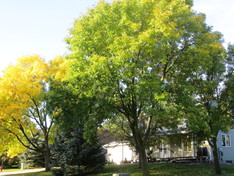 Ash trees in front of home