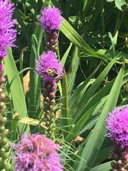 Bee on purple blazing star