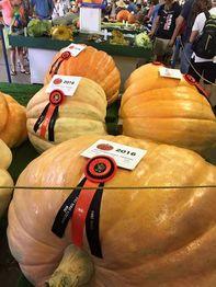 Giant pumpkis