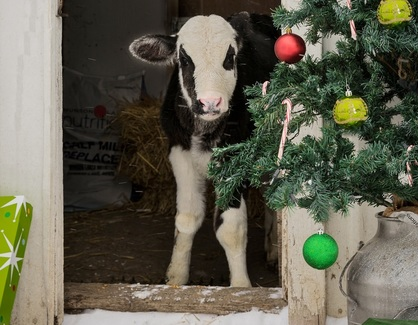 Cow by Christmas tree