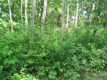 This forest has the invasive shrub common buckthorn invading the understory