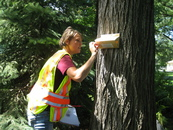 Person checking gypsy moth trap