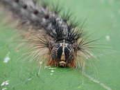 Gypsy moth larva