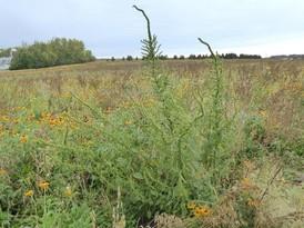 Palmer amaranth plant in a field.