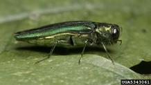 Emerald ash borer adult beetle