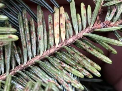 Elongate hemlock scale on a fir branch