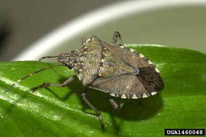 brown marmorated stink bug adult beetle
